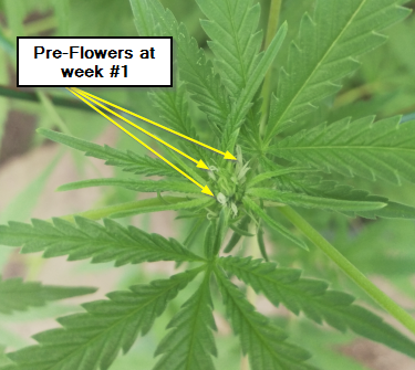 Pre-Flowers at week #1